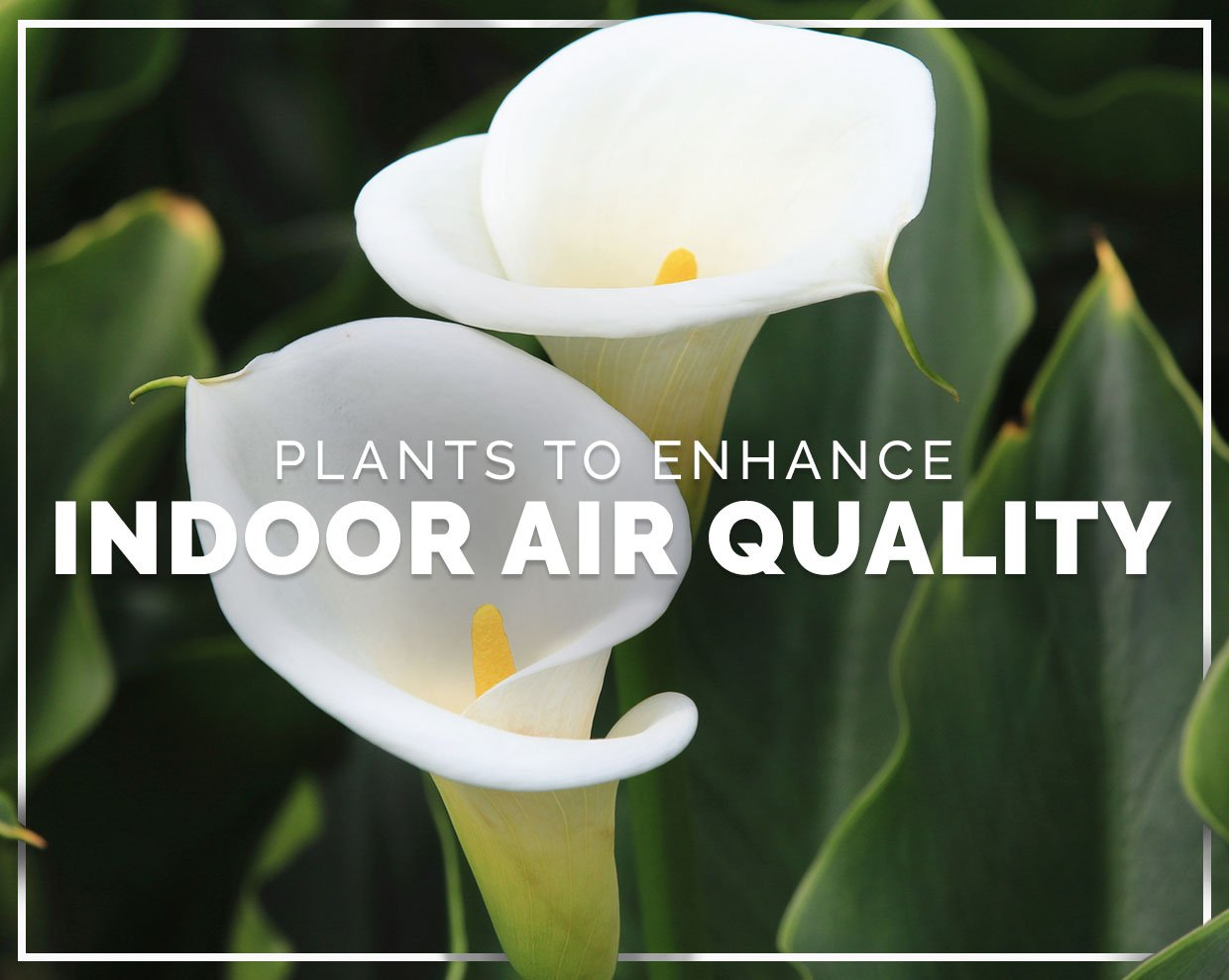 Plants to enhance your indoor air quality at home or work